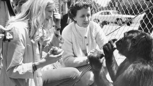 Koko the gorilla with researcher Penny Patterson and interpreter for the deaf June Monroe. Photo: Getty Images