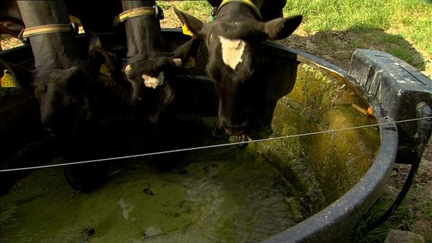 Cows drinking during heatwave