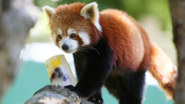 Red Panda Dublin Zoo