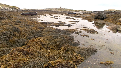 There was 13 applications by companies seeking a licence to harvest seaweed along the west coast