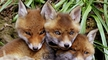 Nature file - Foxcubs