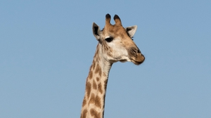 Giraffes are classified as 'vulnerable'