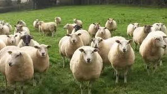 Teagasc sheep 2018 show Athenry