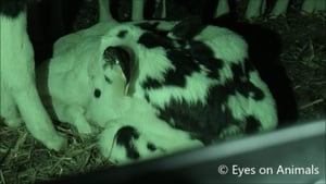 Eyes on Animals claim the latest alleged breach came to light after it followed two- to four-week-old calves transported from Ireland by sea to Cherbourg in northern France and then on elsewhere in Europe
