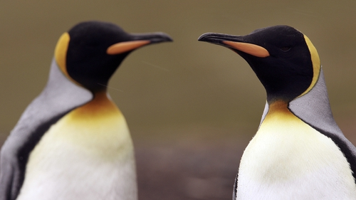 Scientists do not yet know why the world's largest king penguin colony has declined by 90%