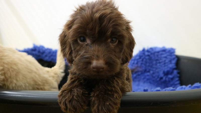 A cocker spaniel puppy was one of 23 rescued from the Roscommon operation