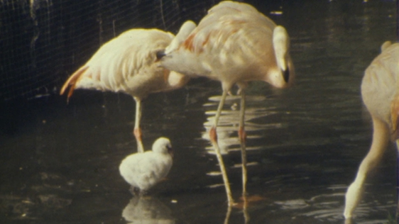 Flamingo Chick For Dublin Zoo
