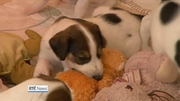 Nine News (Web): Study launched to follow lives of puppies