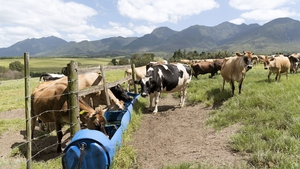 Dairy cows feeding on a farm in South Africa's Western Cape