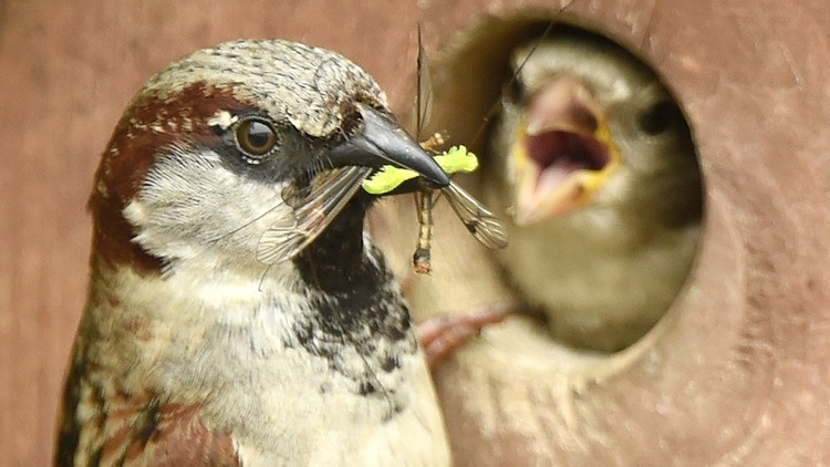 A male sparrow returns to the nest box with food for the chicks but the female blocks his entry (Photo: Tony Margiocchi/Barcroft Images / Barcroft Media via Getty Images)