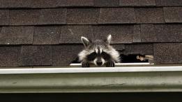 Raccoon: Backyard Bandit