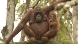 Natural World: Orangutans - The Great Ape Escape