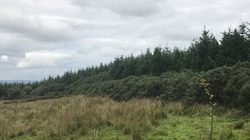 Sitka Spruce trees in Co Leitrim