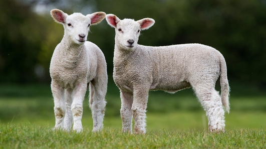 Three sister ewes deliver 11 lambs on Cork farm
