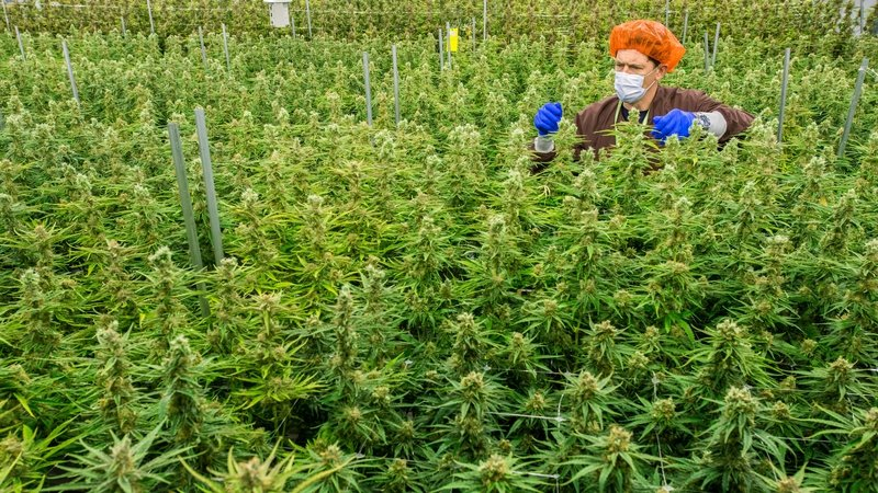 Medicinal cannabis being made available under pilot