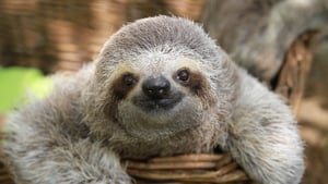 Sloth (Photo: Lucy Cooke / Barcroft Images / Barcroft Media via Getty Images)