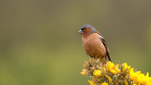 The study found that clearing of habitats during wind farm construction resulted in lower densities of birds, like Chaffinches, close to wind turbines. (Pic: Darío Fernández-Bellon)