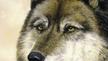 Nature file - The Irish Wolf