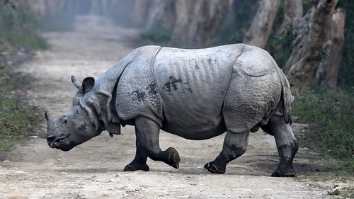 The report finds that the number of rhinos in the wild has declined sharply