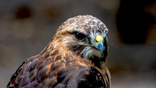 Buzzards were driven to extinction in Ireland over a hundred years ago but have naturally re-colonised here.