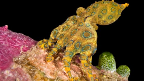 The blue-ringed octopus, Hapalochlaena maculosa, is one of the world's most venomous creatures and its blue rings warn predators of its deadly nature.
