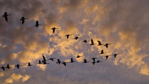 Bird migration has fascinated scientists for centuries