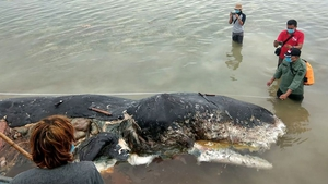 Sperm whale found dead with 6kg of plastic in stomach