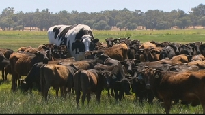 Knickers is thought to be Australia's largest cow