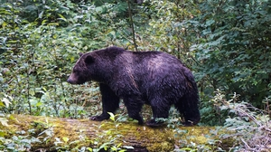 Erratic climate and encroachment on their habitat have been blamed for several animal attacks in Canada