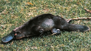 The egg-laying mammal has the bill of a duck, tail of a beaver, otter-like feet and a venomous spur on its hind leg