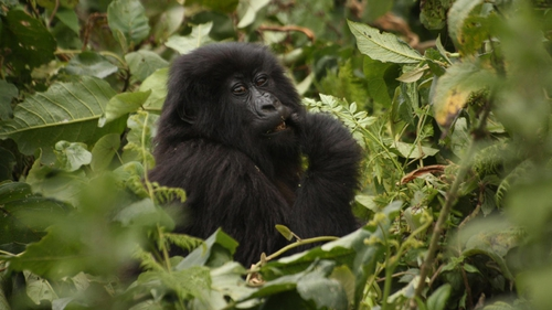 What's for lunch? A young mountain gorilla on the edge of the Volcanoes National Park in northern Rwanda. Photo: Shane McGuinness