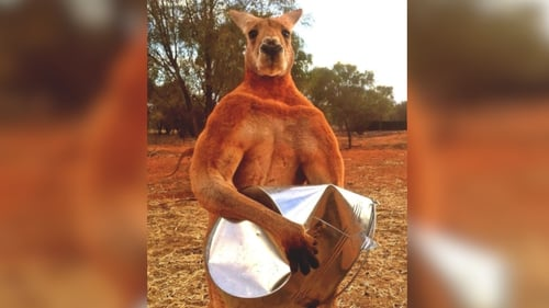 Roger the famous muscle-bound kangaroo dies aged 12