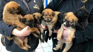 Dasher, Dancer, Vixen, Comet, Cupid, Blitzen and Rudolf are four-week-old lab-collie puppies