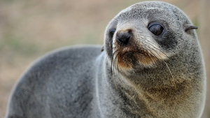 The bodies of the New Zealand fur seal pups were found at Scenery Nook