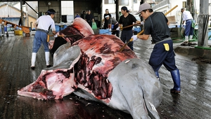 Fishermen peel the skin off a Baird's beaked whale at Wada Port, in Chiba Prefecture, Japan in 2009
