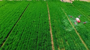 An agricultural drone spraying pesticide on crops in a village in east China's Shandong province. Photo:STR/AFP/Getty Images