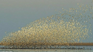 A flock of Waders