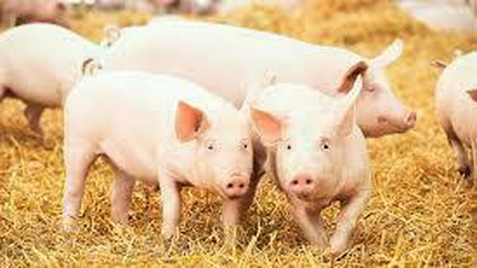 Low Prices in Pig Production