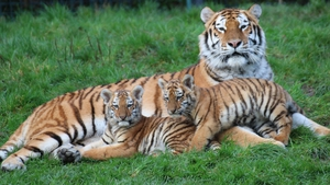 The female cubs were born on October 14, weighing 1.5kg each, and can be seen by visitors to the Zoo this weekend from 11:15am to 3:00pm Saturday and Sunday