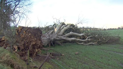 One of the iconic 'Dark Hedges' trees has fallen in Co Antrim