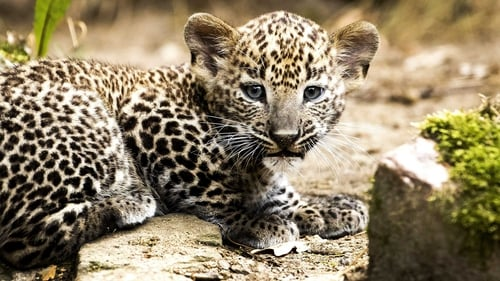 Leopards are found across the Asian continent but are highly vulnerable (file pic)