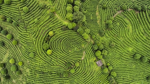 A tea field in Sri Lanka