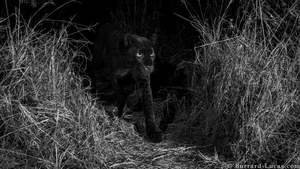 The black leopard is one of the rarest members of the animal kingdom (Pic: Will Burrard-Lucas)