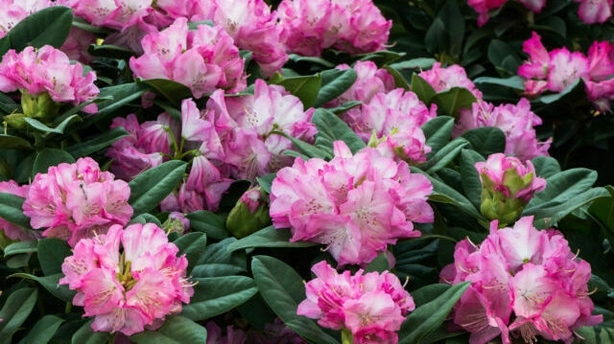 Plant rhododendron in ericaceous compost (ThinkstockPA)
