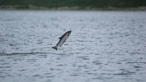 A stunning photo of a Salmon jumping, photo courtesy of Marine Biologist Ken Whelan