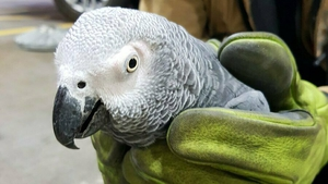 The parrot was found on a runway at the airport during a routine inspection (Pic: Dublin Airport Twitter)