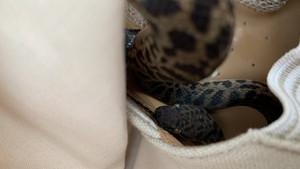 The spotted python is not venomous (Images: Scottish SPCA)