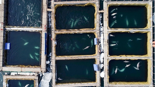Dozens of whales are being kept in cramped conditions