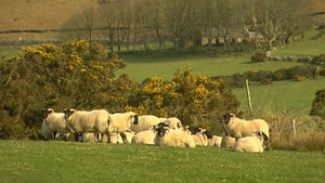 Statistics gathered by the IFA indicate that the problem may account for300-400 attacks each year, with 3,000 to 4,000 sheep injured or killed