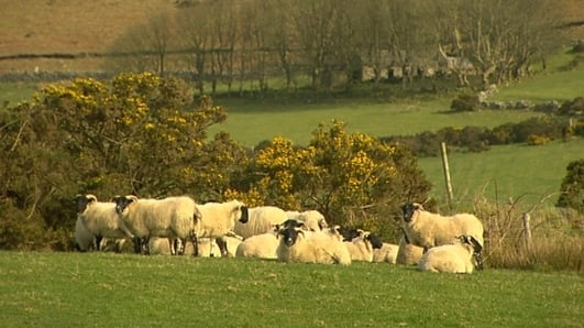 Over 100 sheep burned alive in Donegal fire